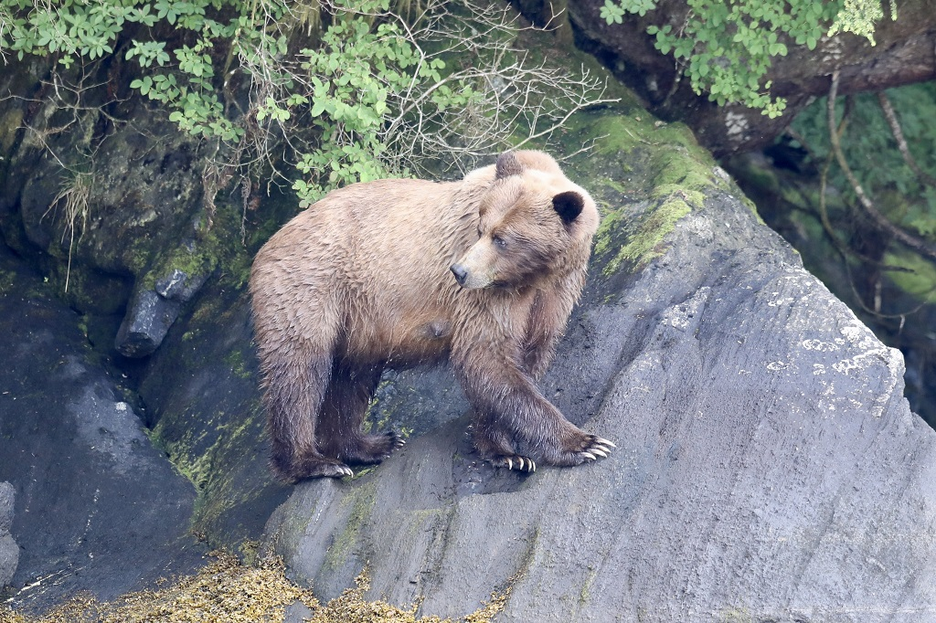 A mother grizzly bear looks back on her cubs in the Khutzeymateen.