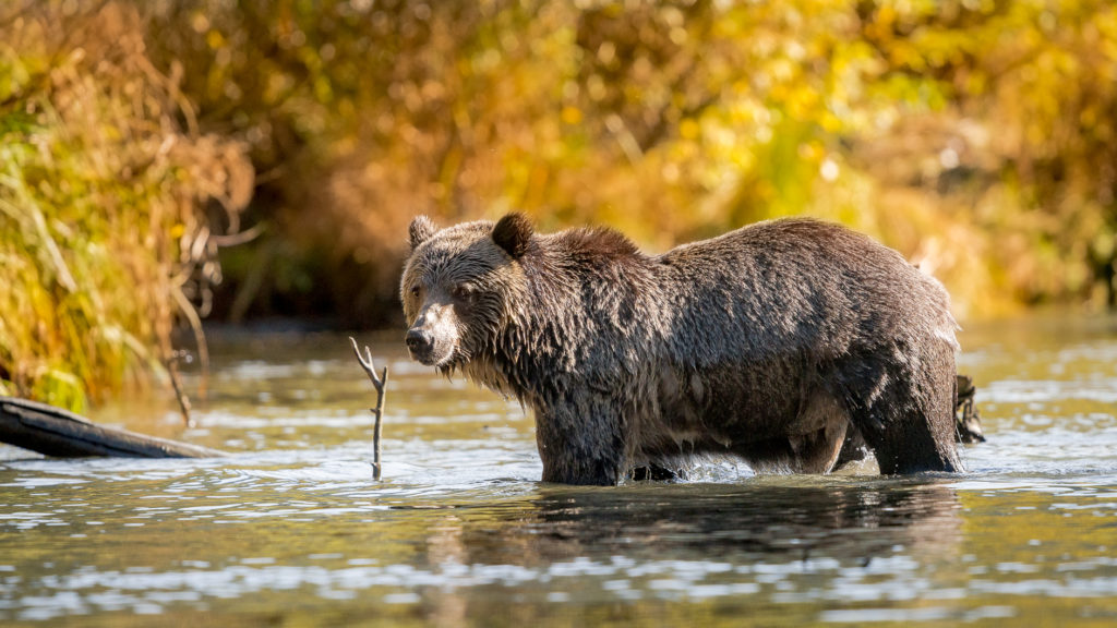 A grizzly bear standing in the water