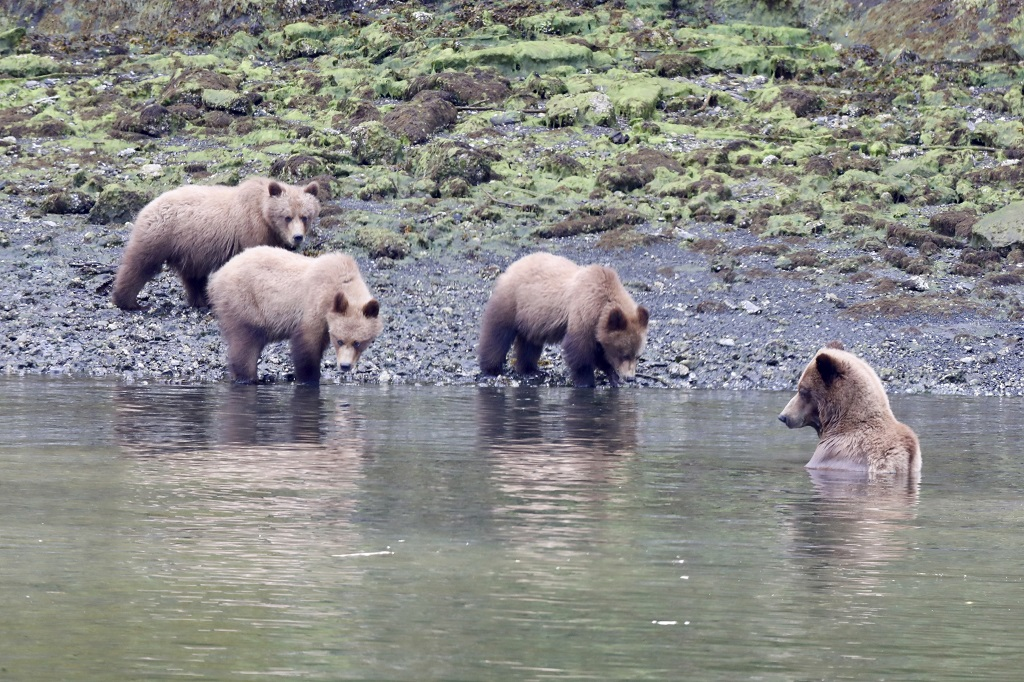 A sow goes for a dip while her three cubs look on.