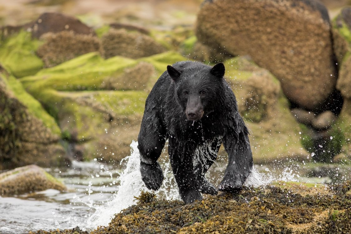 A black bear coming out of a river.