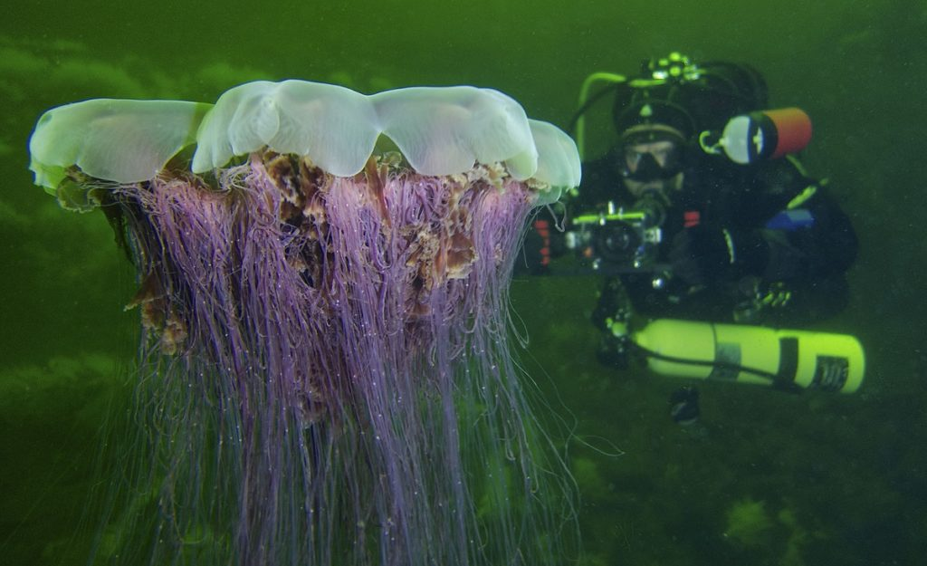 A scuba diver taking a photo of a jelly fish