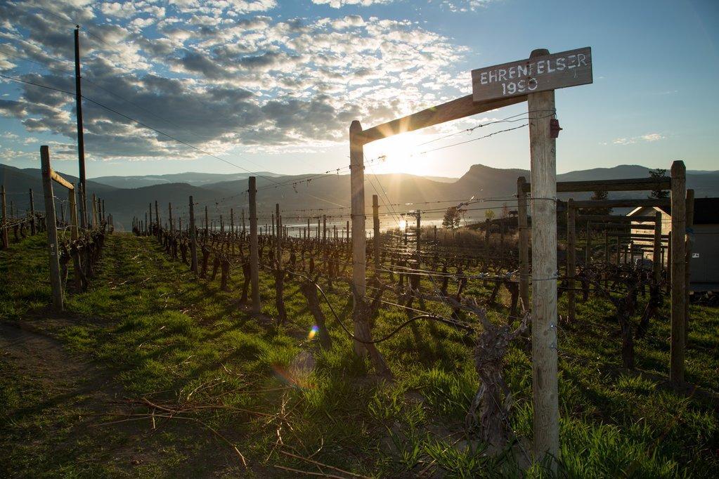 A coastal vineyard at sunset.