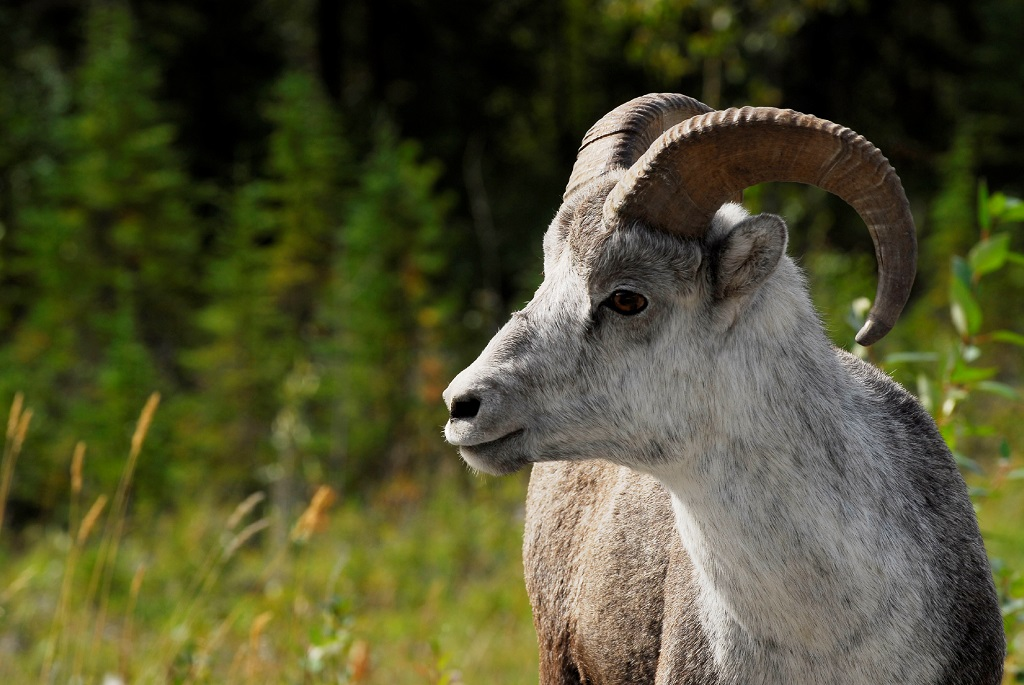 A Big Horn goat stands in a meadow of long grass.