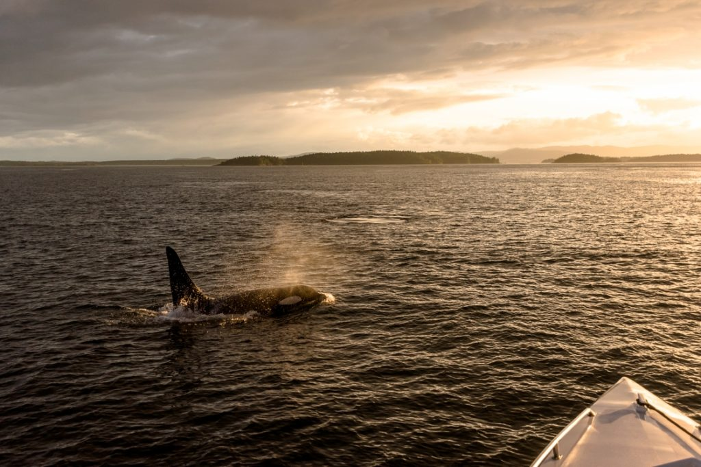 An orca near Victoria on Vancouver Island.
