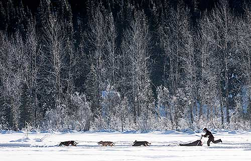 Dog sledding past snow covered trees near Barkerville, BC.