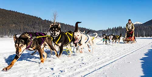 Dogs pulling a sled near Barkerville, BC.