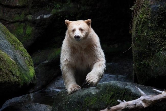 A Spirit bear in the Great Bear Rainforest.