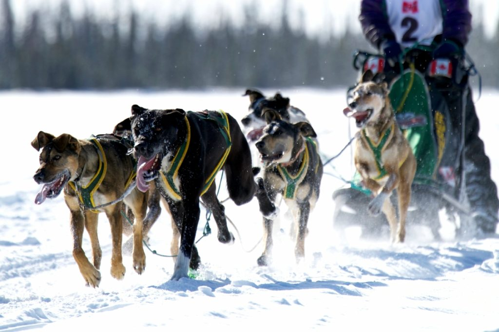Sled dogs doing what they do best in Fort Nelson.