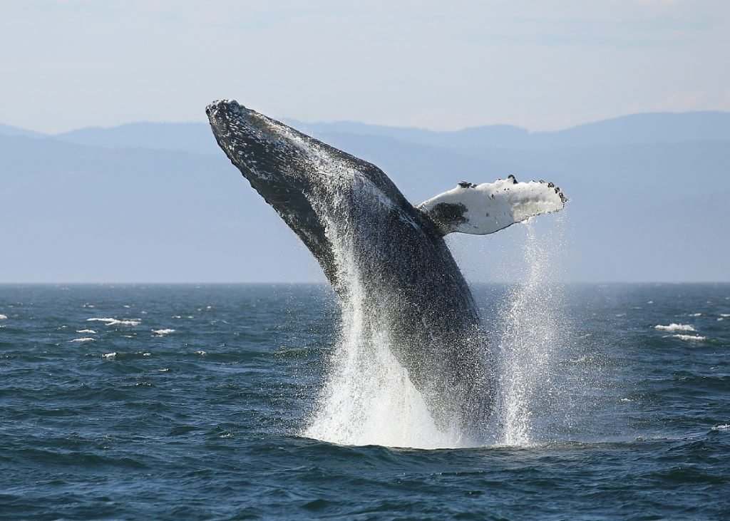A humpback whale breaching near Vancouver Island