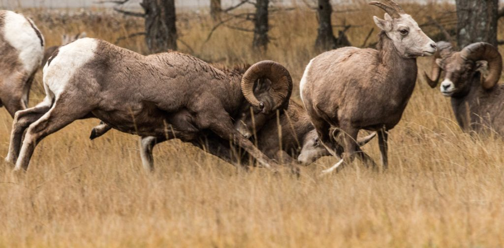 Big horn sheep vying for female attention in Radium Hot Springs.