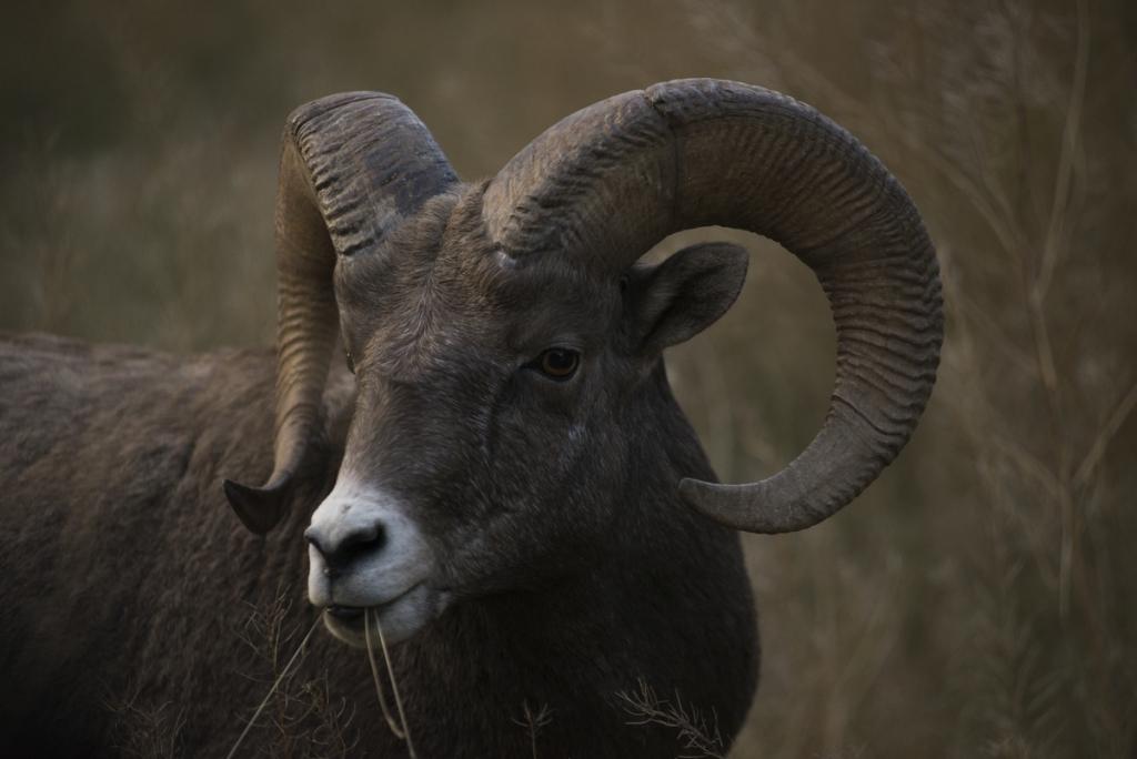 Bighorn Sheep | Kari Medig